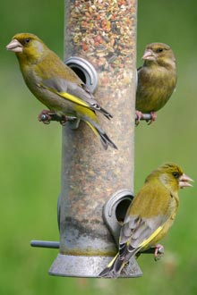 Greenfinches (photo supplied by Jill Pakenham, BTO)